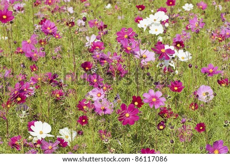 Cosmos bipinnatus, commonly called garden cosmos or Mexican aster - stock photo