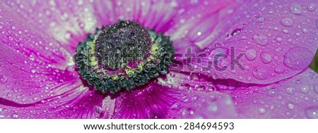 Cosmos bipinnatus, commonly called the garden cosmos or Mexican aster - stock photo