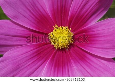 Cosmos bipinnatus, Garden Cosmos, Mexican Aster, decorative summer flower in Germany - stock photo