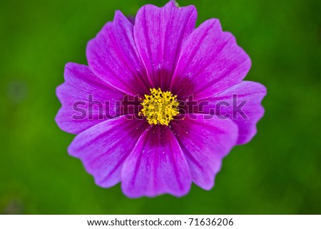 Cosmos Daisy pink flower in Close-up from top with green background - stock photo