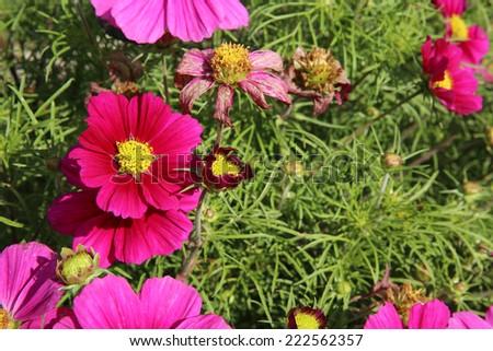 Cosmos Flower - stock photo
