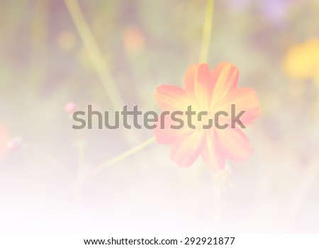 Cosmos flower, Blooming cosmos flowers , with gragient filter effect - stock photo