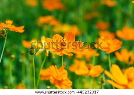 Cosmos flower(Cosmos Bipinnatus) . - stock photo
