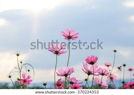 cosmos flower field - stock photo