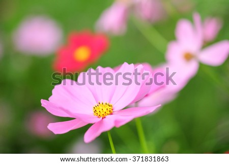 cosmos flower field - stock photo