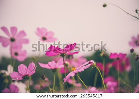 Cosmos flower in field - Vintage effect style - stock photo