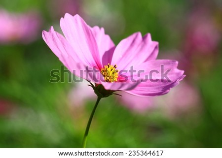cosmos flower in garden - stock photo