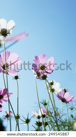 cosmos flower in low angle shot - stock photo