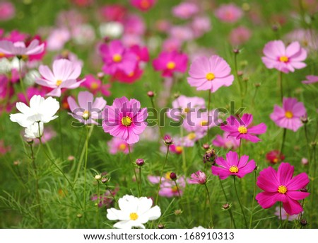 Cosmos flower in the field - stock photo