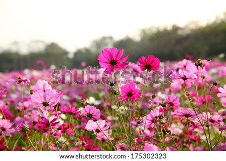 Cosmos flower in the field with blue sky - stock photo