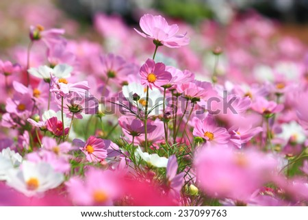 cosmos flower in the garden - stock photo