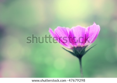 Cosmos flower. Pink Cosmos flower in Garden. - stock photo