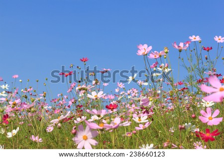 cosmos flower with blue sky - stock photo