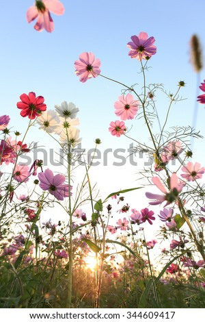 Cosmos flower with blue sky and sunlight - stock photo