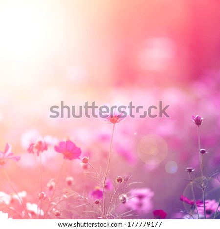 Cosmos flowers - stock photo