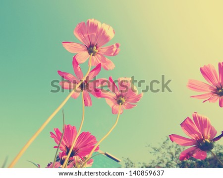 Cosmos flowers and blue sky (vintage tone) - stock photo