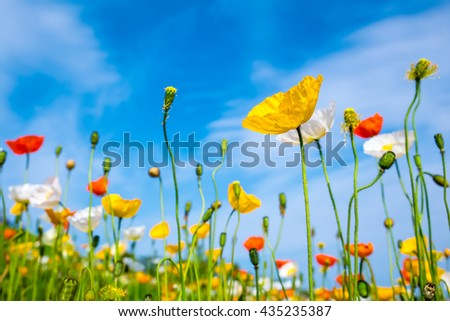 cosmos flowers in the garden with blue sky and clouds background in vintage style soft focus.  - stock photo