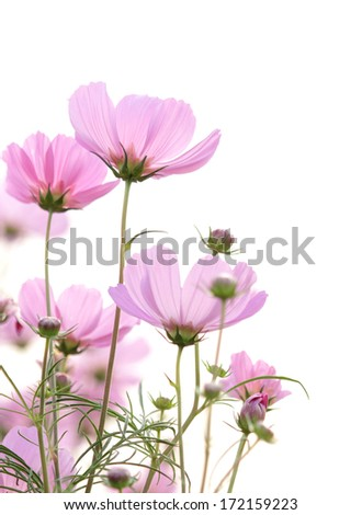cosmos flowers isolated on white - stock photo