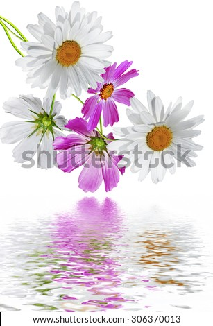 Cosmos flowers isolated on white background - stock photo