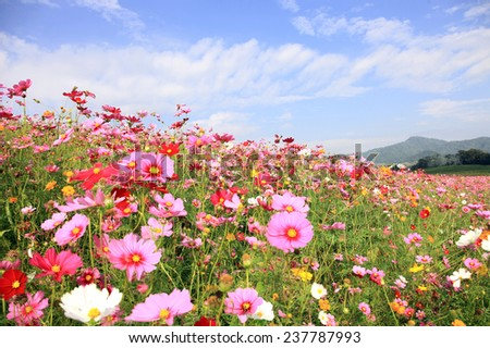 Cosmos flowers under blue sky background. - stock photo