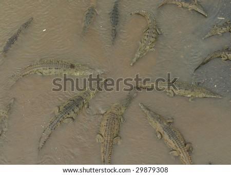 costa rican american crocodiles gathering for feeding, tarcoles river, jaco, costa rica - stock photo