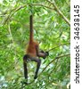 costa rican spider monkey male juvenile hanging from tree by tail, corcovado national park, costa rica, central america, mono aranya exotic primate in lush vibrant jungle rainforest - stock photo