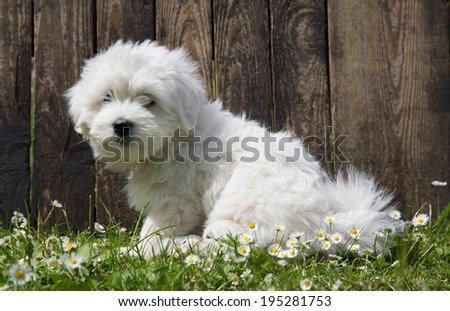 Coton de Tulear - dog baby portrait - puppy sitting in the garden in summer.  - stock photo
