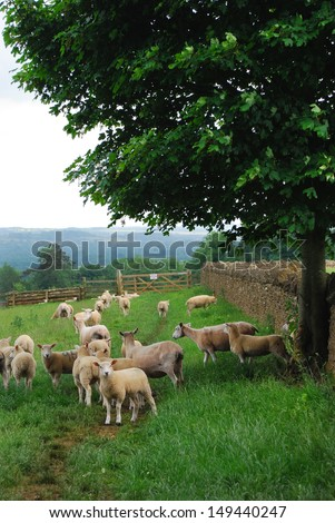 Cotswold sheep gathered by the wall, waiting for the farmer. England - stock photo