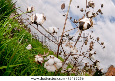 Cotton bolls in a field .ready to be picked - stock photo