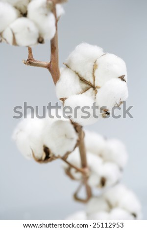 cotton crop - stock photo