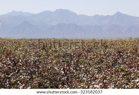 Cotton field near Weita. Omo Valley. Ethiopia. - stock photo