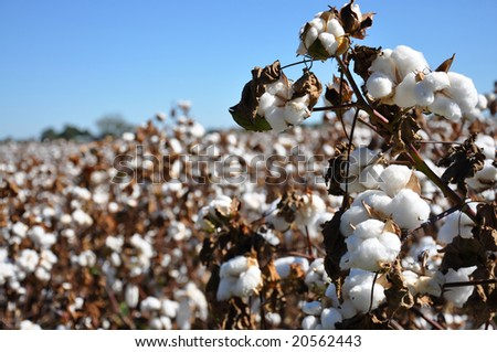 Cotton in field on farm in Alabama. - stock photo