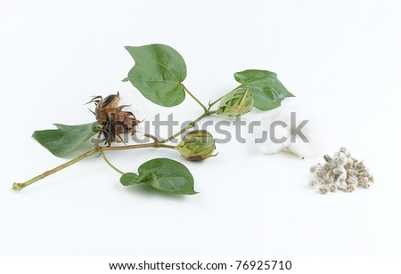 Cotton plant and seed - stock photo