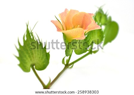 Cotton plant buds isolated on white background. - stock photo