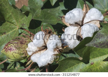 Cotton plant close up. Day light - stock photo