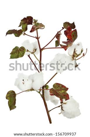 cotton plant isolated on white - stock photo