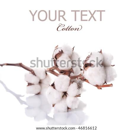 Cotton plant over white - stock photo