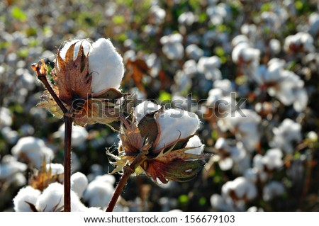 Cotton Plant Ready to Harvest - stock photo