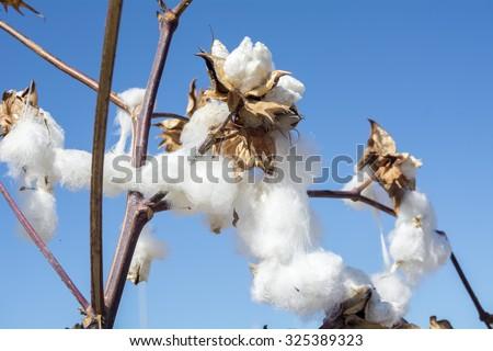 Cotton Plant Ready to Harvest - stock photo