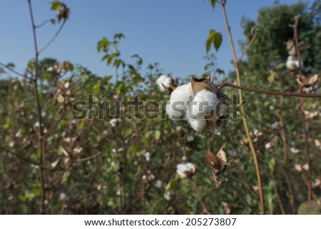 cotton plantation in Africa  - stock photo