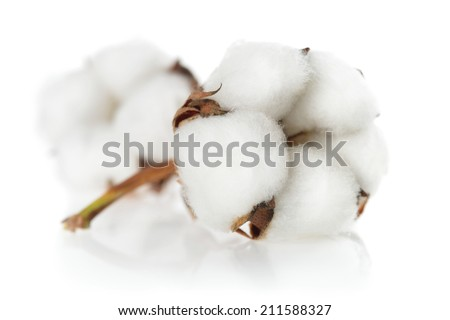 Cotton plants closeup, clean studio shot on white background with reflection - stock photo