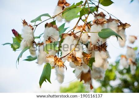 Cotton Tree Closeup In The Garden    - stock photo