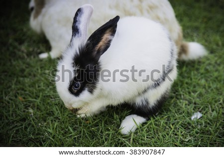 Cottontail bunny rabbit eating grass in the garden - stock photo