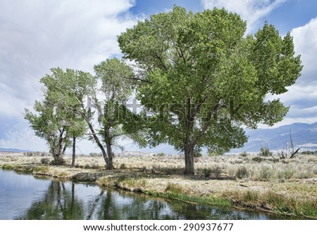 Cottonwood trees in Bishop California near a water filled irrigation ditch. - stock photo