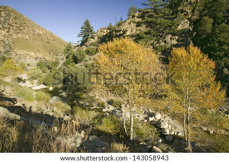 Cottonwoods with autumn color on highway 33 in Las Padres National Forest, Southern California near Ojai - stock photo