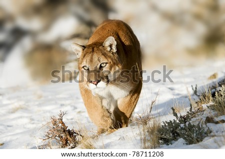 cougar - stock photo