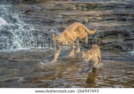 Cougar and kit crossing Minnesota river, digital oil painting - stock photo