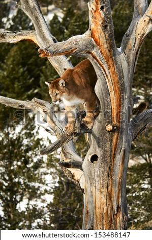 Cougar climbing tree - stock photo