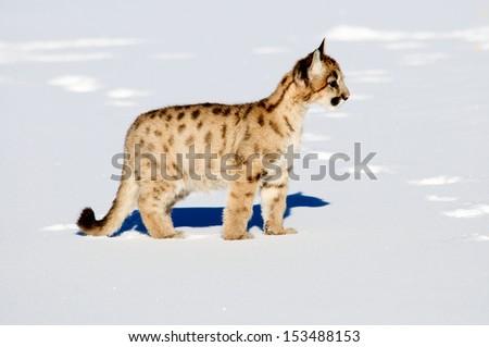 Cougar cub - stock photo