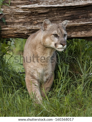 Cougar Leaving Hiding Place - stock photo